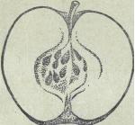 яблоко сорта Мекинтош