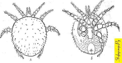 Мелиттифис альвеариус