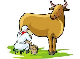 Корова сбавляет молоко