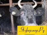 Зависимость удоев от возраста коровы, от продолжительности лактации, от сезона отёла