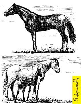 О локайской лошади