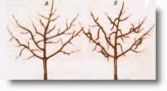 Обрезка яблони сортов, поздно вступающих в плодоношение