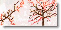 Омоложение хорошо сохранившихся, однако стареющих веток на яблоне