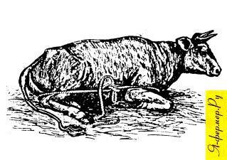Обвязывание коровы веревкой для поднимания при залеживании