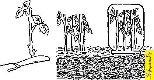 Окоренение черенков роз