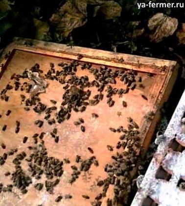 Причина осыпи — больные пчелы.