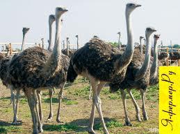 Выращивание страусов: до 2 млн. рублей в год с одной страусиной семьи