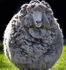 Овца на пастбище