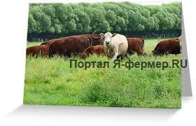 скот на орошаемых пастбищах фото