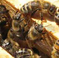 Принудительный облет пчёл.