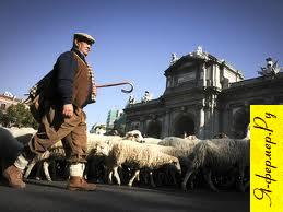 Перегон овец