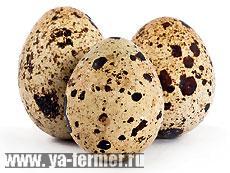 Состав перепелиных яиц и целебные свойства при различных заболеваниях