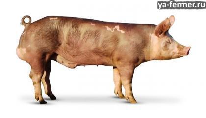 Порода свиней пьетрен фото