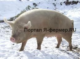 Советы по содержанию свиней и поросят зимой
