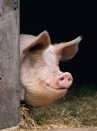 Рожа свиней: признаки, течение, профилактика, вакцинация
