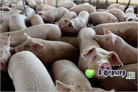 Свиноводство в республике Болгария