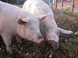 Правильный выбор породы и типа свиней