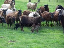 поголовье скота фото