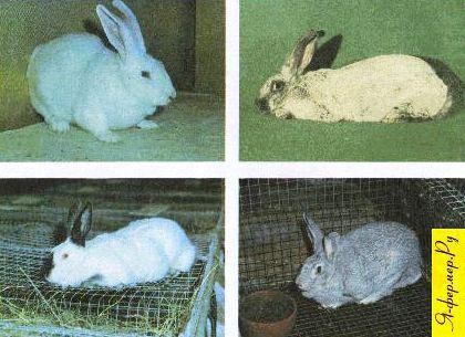 Породы кроликов: фото