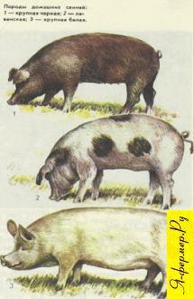 Породы свиней и выбор их для разведения