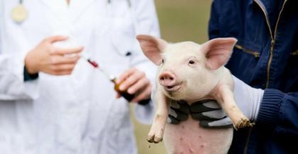Первая вакцина от АЧС для кабанов разработана в Испании