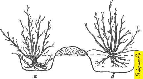 Высадка кустарника