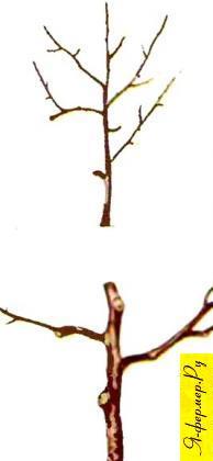 При вырезке веток у вишни ни в коем случае нельзя оставлять пеньки