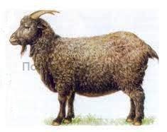 коза придонской породы, рисунок