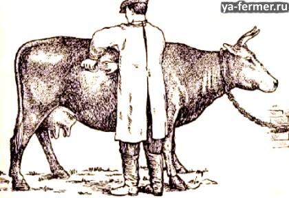 Переполнение рубца и сычуга. Ветеринар делает прокол рубца.