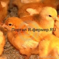 Д-авитаминоз (рахит) у домашней птицы: признаки, течение, лечение и меры профилактики
