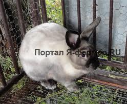 Инфекционный стоматит кроликов: признаки, течение, лечение и меры профилактики