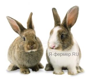 Причина появления мастита у кроликов