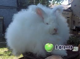 Об особенностях кормления пуховых кроликов