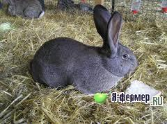 Инфекционный ринит (заразный насморк) у кроликов: признаки, течение, лечение и меры профилактики