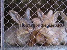 Чесотка у кроликов: признаки, течение, лечение и меры профилактики