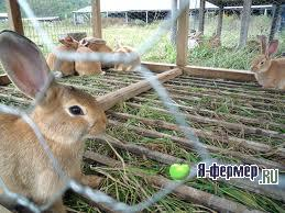 Стафилококкоз у кроликов: признаки, течение, лечение и меры профилактики
