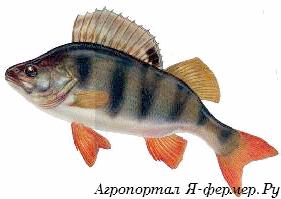 Рыба – ценный источник белка, фосфора, йода и других микроэлементов