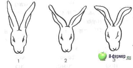 Конституция и экстерьер кроликов