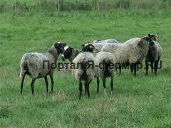 Куплю овец и баранов романовской породы по договорной цене.