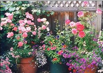 Выращиваем розы в горшках