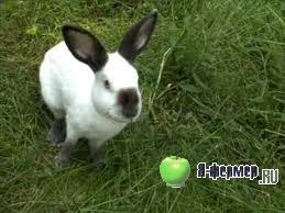 русская горностаевая порода кроликов