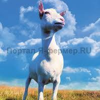 Коза русской породы, фото