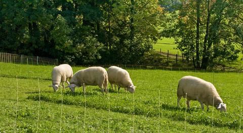 выпас овец на новых участках