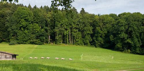 выпас овец по кругу