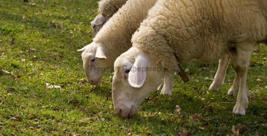 кормление и рацион овец ранней весной