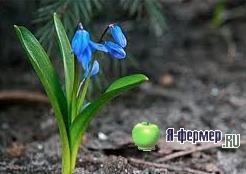 Сцилла или Голубой подснежник