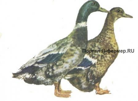 Серые украинские утки рисунок