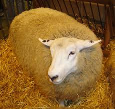 помещения для овец