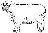 овца, овцеводство, картинка