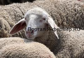 Поедание шерсти овцами